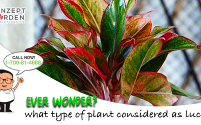 Aglaonema Plant You Need To Grow