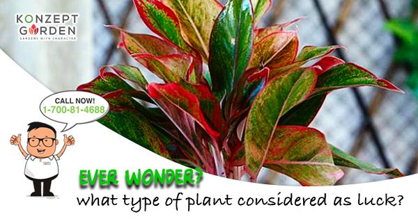 Aglaonema Plant You Need To Grow