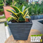 New Twisted Species of Snake Plant Sansevieria Trifasciata [Golden Hahnii] | with Our Ziant Hydro Planter ZP001-XXS-Black Image