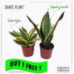 Snake Plant Superba Laurentii | Golden Hahnii [without planter] | Buy 1 Free 1 Image